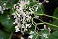 Begonia manicata 0zz.jpg