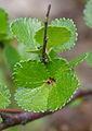 Betula nana ÖBG 2012-05-13 05.jpg