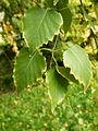 Betula pendula (15).JPG