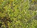 Betula pendula Roth (AM AK294867-3).jpg