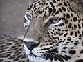 Big Cat eyes 01.jpg