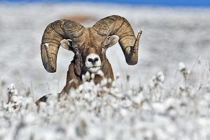 Big Horn Sheep (Male), Near Jasper, Alberta