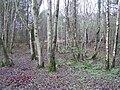 Birch woodland, Ulster American Folkpark - geograph.org.uk - 289280.jpg