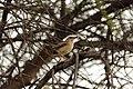 Bird Botswana 04.jpg