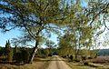 Birkenallee in der Heide 02.jpg