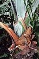 Bismarckia nobilis 17zz.jpg