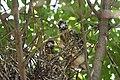 Black-crowned Night-Heron young (48432092921).jpg