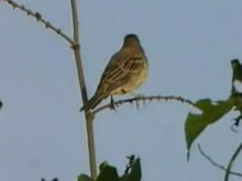 پرونده:Black-headed Bunting.ogv