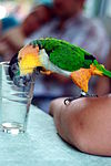 Black-headed Parrot (Pionites melanocephalus) -glass.jpg