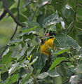 Black-hooded Oriole eating Peepal fig I IMG 9782.jpg