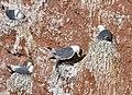 Black-legged-Kittiwake-Nest.jpg