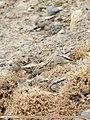 Black-winged Snowfinch (Montifringilla adamsi) (46850275185).jpg