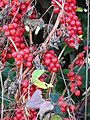 Black Bryony (Tamus communis) - detail - geograph.org.uk - 1586389.jpg