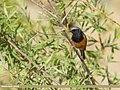 Black Redstart (Phoenicurus ochruros) (50123705031).jpg