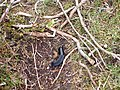 Black Slug (Arion ater) - geograph.org.uk - 413741.jpg