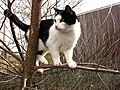Black and white cat walks on the branches of a tree.jpg