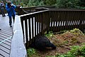 Black bear at Anan Wildlife Observatory 3.jpg