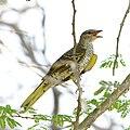 Black cuckooshrike, Campephaga flava female, at Marakele National Park, Limpopo, South Africa (45811626715).jpg