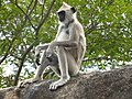 Black foot grey langur.jpg
