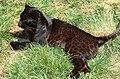 Black leopard (cropped).JPG