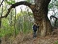 Black poplar - panoramio.jpg