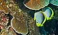 Blackback Butterflyfishes (Chaetodon melannotus) (8478449156).jpg