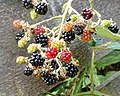 Blackberries at Hatfield Broad Oak, Essex, England 03.jpg