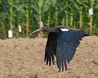 Red-naped ibis - An adult in flight