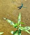 Blauflügelige Prachtlibellen 07.jpg