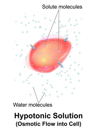 Tonicity - A red blood cell in a hypotonic solution, causing water to move into the cell.