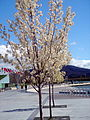 Blossoming trees at Commonwealth Place, Canberra (262606878).jpg