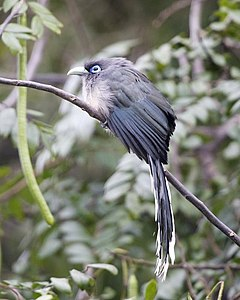 Blue-faced Malkoha (Phaenicophaeus viridirostris) - Flickr - Lip Kee.jpg