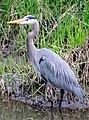 Blue Heron, Lake Sammamish State Park.jpg