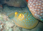 Blue spotted stingray.jpg
