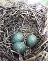 Blue starling eggs.jpg