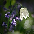 Bluebells and Snake's Head Fritillary (8736200702).jpg