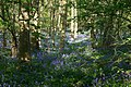 Bluebells in Waresley woods - geograph.org.uk - 275836.jpg