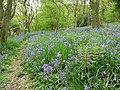 Bluebells in woodland on Helmeth Hill in May - geograph.org.uk - 1866089.jpg