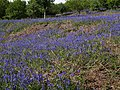 Bluebells on Easdon Down (2) - geograph.org.uk - 1333520.jpg