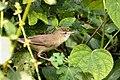 Blyth's Reed Warbler (Acrocephalus dumetorum) ഈറ്റപൊളപ്പൻ. (31839000054).jpg