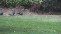 File:Bobcat and turkeys.webm
