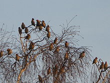 waxwings in a bare tree