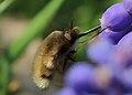 Bombyliidae 5381.jpg
