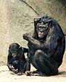 Bonobos Lana & Kesi 2006 CALVIN IMG 1301.jpg