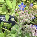 Borago officinalis Jardin Botánico UNAM.jpg