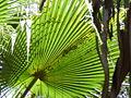 Borassus aethiopum 0038.jpg
