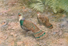 Bornean Peacock Pheasant by George Edward Lodge.png