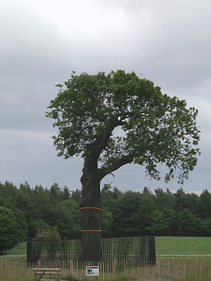 Royal Oak - The daughter tree of the original Royal Oak as it appeared in 2011. It was further distanced from visitors after serious cracks were discovered in autumn, 2010.