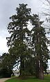 Bosquet séquoias Thabor Rennes.JPG