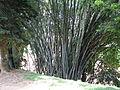 Botanical Garden of Peradeniya 79.JPG
